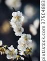李子,花,植物 37504883