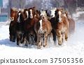 跑在多雪的领域的马 37505356