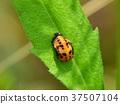 瓢虫 蛹 蝶蛹 37507104