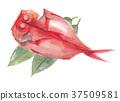 红金眼鲷 红鲷鱼 鲷鱼 37509581