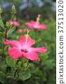 히비스커스 꽃 37513020