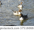 Winter migratory birds that came to the pond in Inage Beach Park 37516066