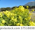 油菜花 花椰菜和芥藍的雜交品種 強奸的花朵 37516698