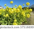 油菜花 花椰菜和芥藍的雜交品種 強奸的花朵 37516699