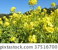油菜花 花椰菜和芥藍的雜交品種 強奸的花朵 37516700