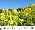 油菜花 花椰菜和芥藍的雜交品種 強奸的花朵 37516701