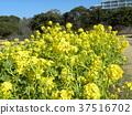 油菜花 花椰菜和芥藍的雜交品種 強奸的花朵 37516702