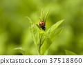 무당벌레, 곤충, 나뭇잎 37518860