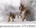 red squirrel stands on podium  with a nut wreath 37519083