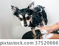 Bathing dogs after grooming 37520666
