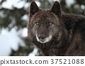 신린 늑대 37521088
