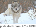 신린 늑대 37521090