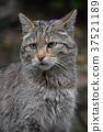 野猫 猫 猫咪 37521189