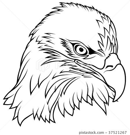 Bald Eagle Head 37521267