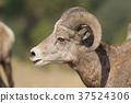 Close up profile of male bighorn sheep. 37524306