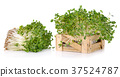 Fresh sprouts isolated on white background. 37524787