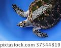 hawksbill sea turtle on blue background 37544819