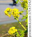 黃色 黃 油菜花 37547542