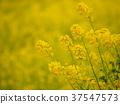 黃色 黃 油菜花 37547573