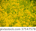 黄色 油菜花 油菜 37547578