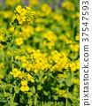 黄色 油菜花 油菜 37547593