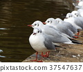 black-headed gull, white, feet 37547637