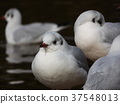 black-headed gull, white, feet 37548013