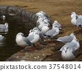 black-headed gull, white, feet 37548014