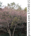 Japanese apricot, gradient, incline 37548015
