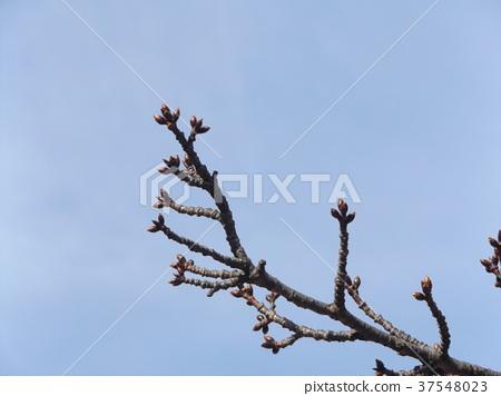 川角樱桃花 蓓蕾 发芽 37548023