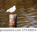 black-headed gull, white, feet 37548854