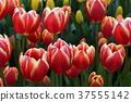 Tulip Enoshima 37555142