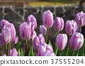 Tulip Enoshima 37555204