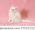 ลูกแมว,แมว,แมวขาว 37557132