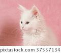ลูกแมว,แมว,แมวขาว 37557134