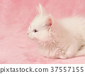 小貓 貓咪 貓 37557155