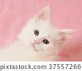 小貓 貓咪 貓 37557266