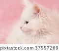 小貓 貓咪 貓 37557269