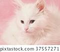 ลูกแมว,แมว,แมวขาว 37557271