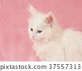 小貓 貓咪 貓 37557313