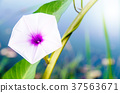 morning glory flower selective focus 37563671