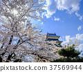 ปราสาท,ปราสาทมัทซึโมโตะ,ดอกซากุระบาน 37569944