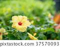 槿 花朵 花 37570093
