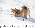 看在雪戏剧中间的Shiba Inu照相机 37586851