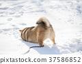 柴犬 丛林犬 狗 37586852