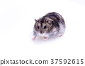 Normal Color of Winter White Hamster 37592615