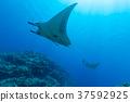 대왕쥐가오리, 바다속, 수중 37592925