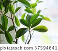 Ficus ginseng bonsai plant growing 37594641