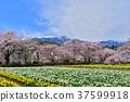 신대 벚꽃 37599918