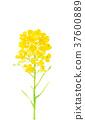 ดอกไม้ข่มขืน 37600889